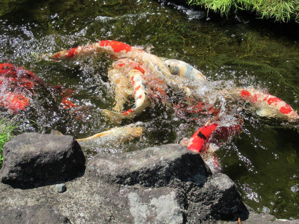 放生池の鯉も水温が上がり生き生きと・・・R2.6.11撮影
